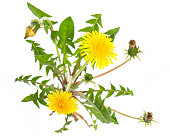 healing plants: Dandelion (Taraxacum officinale) from above on white background