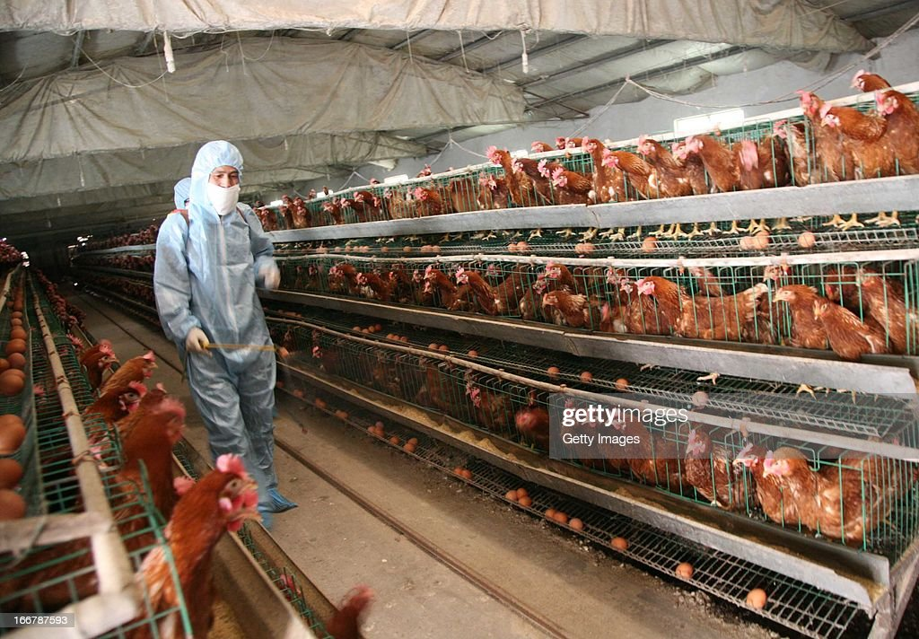 A health worker sprays disinfectant at a poultry farm on April 17, 2013 in Baofeng, China. China has reported 77 cases of H7N9 avian influenza, including 16 deaths, and the government expect that figure to rise.