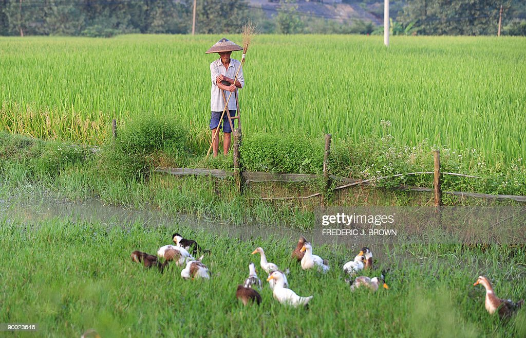 HealthChinaenvironmentpollutionunrest BY FRANCOIS BOUGON A farmer tends to his ducks feeding beside the water at the edge of a rice field at a...