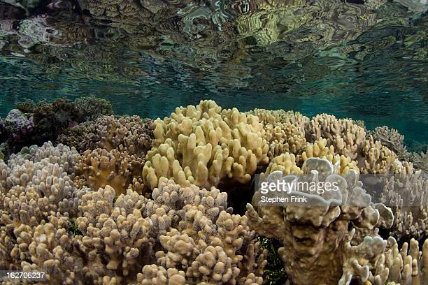 Healthy Corals Living near the Ocean's Surface