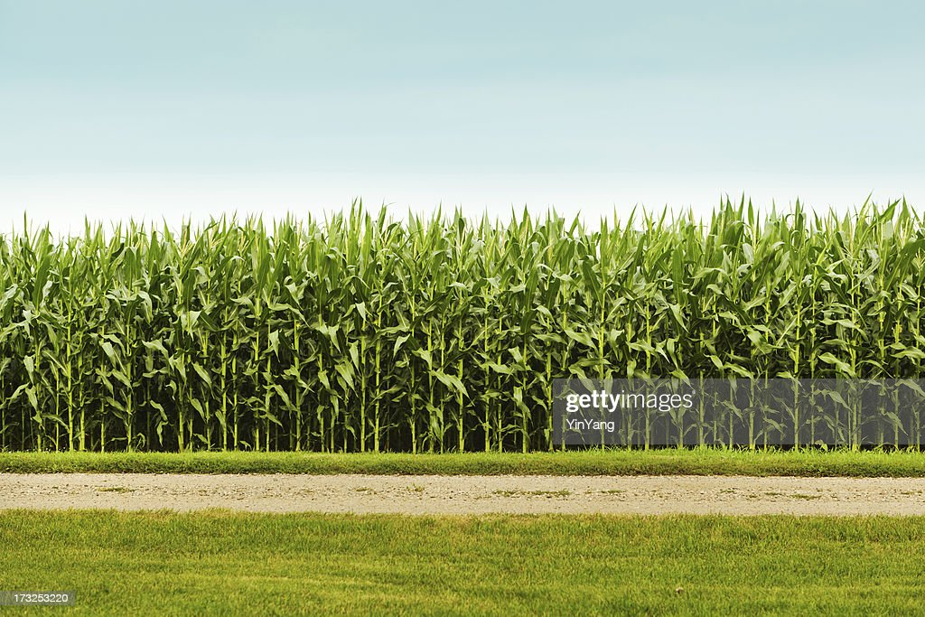 Healthy Corn Crop in Agricultural Field