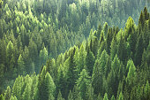 Healthy green trees in a forest of old spruce, fir and pine trees in wilderness of a national park. Sustainable industry, ecosystem and healthy environment concepts and background.