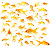 Healthy Happy Isolated Goldfish