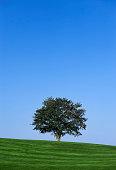Healthy lone tree