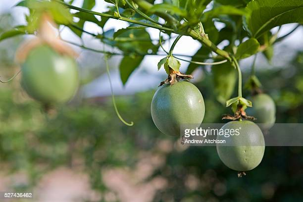 Healthy looking organic Passion fruits on a farm that's had training on sustainable organic agriculture by Kulika in Uganda | Location Nakasongola...