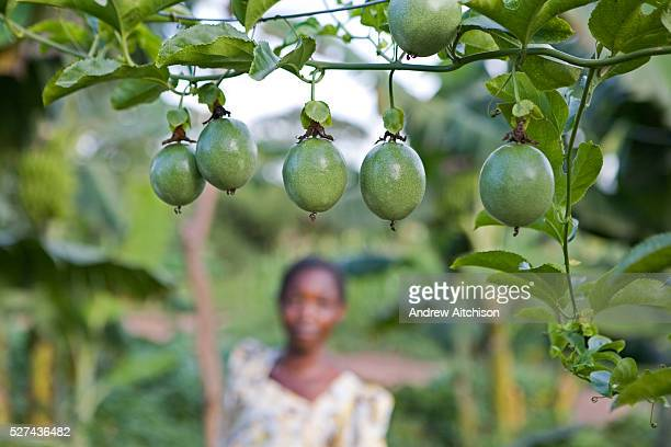 Healthy looking organic passion fruits on Beatrice Sebyala's farm She is the chairperson and a group leader for the Basokakwayula group one of the...