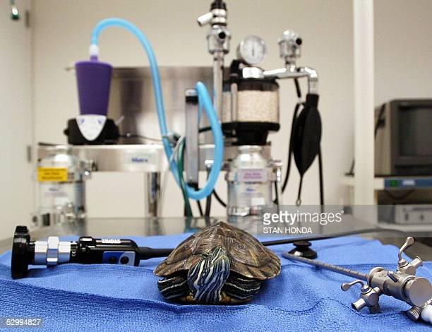 'THE JUNGLE BOOK' MEETS 'ER' IN NEW YORK CLINIC A healthy red ear slider turtle poses on an examination table in the surgery room at the Center for...