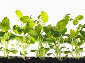 Healthy seedlings growing in tray