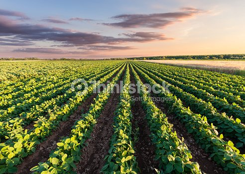 Healthy soy meadow at beautiful sunset : Stock Photo