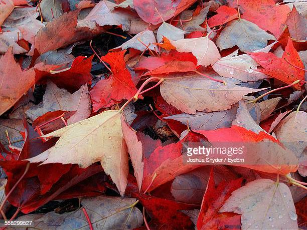 Heap Of Red Leaves