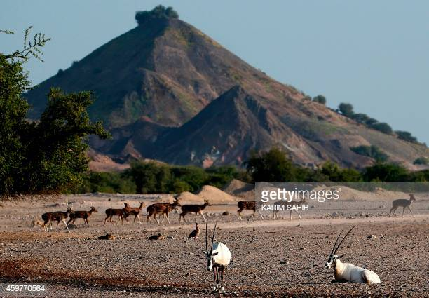 A heard Axis deer roam as Arabian Oryx illustr* on rest on Sir Bani Yas Island one of the largest natural islands in the United Arab Emirates on...