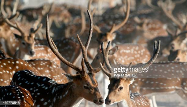A heard Axis deer roam on Sir Bani Yas Island one of the largest natural islands in the United Arab Emirates on November 27 2014 The 87square...