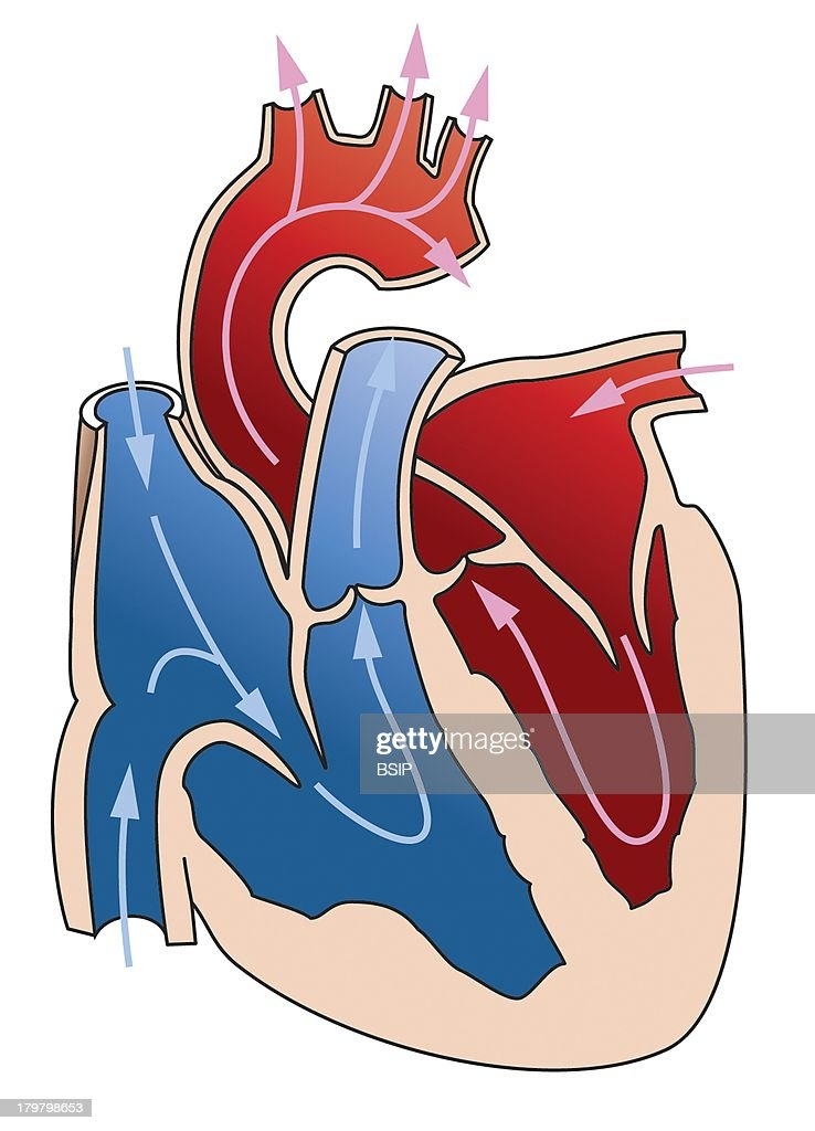 Heart Illustration Heart Is Composed Of Four Cavities The Atria In Its Superior Part And The Ventricles In Its Inferior Part The Two Ventricles Are...