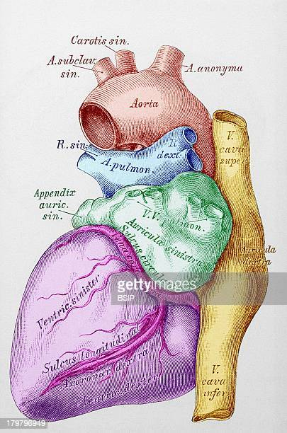 Heart Illustration The Heart Is Divided In 2 Parts The Blood Depart From The Right Heart Goes Through The Lungs And Comes Back Towards The Left Heart