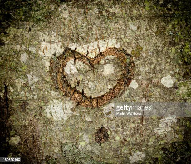 Cœur de l'écorce d'arbre