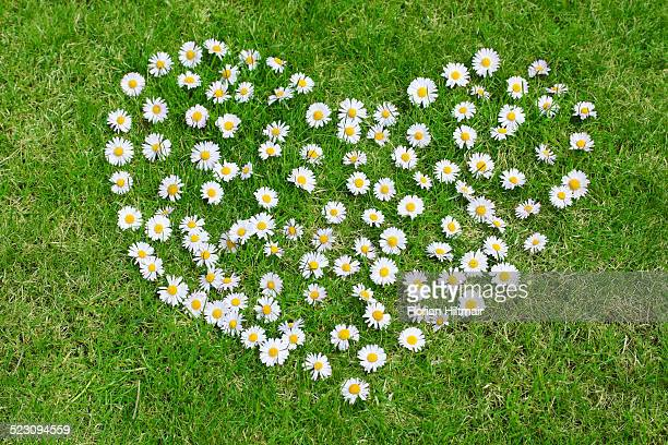 Heart made of daisies on lawn