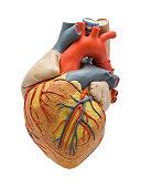 Heart model made of plastic