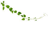 Heart shaped green leaf climbling vines plant isolated on white background, clipping path included. Cowslip creeper the medicinal tropical plant.