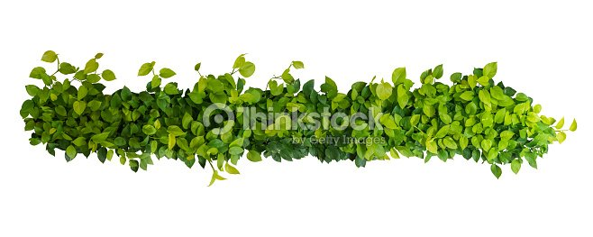 Heart shaped green yellow leaves of devil's ivy or golden pothos, panoramic top view bush isolated on white background, clipping path included. : Stock Photo