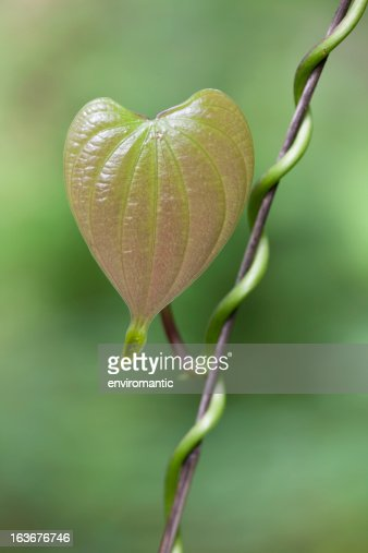 Heart shaped leaf of a creeper plant.