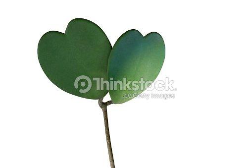 coeur en forme de succulente vert feuilles de plante grimpante tropicale sweetheart hoya ou. Black Bedroom Furniture Sets. Home Design Ideas