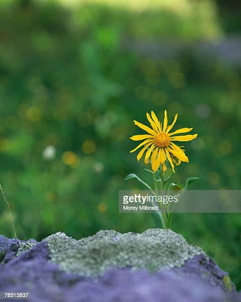 Heart-Leaved Arnica flower, Alta Lakes, Telluride, Colorado