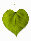 Heart-shaped leaf on white background, studio shot