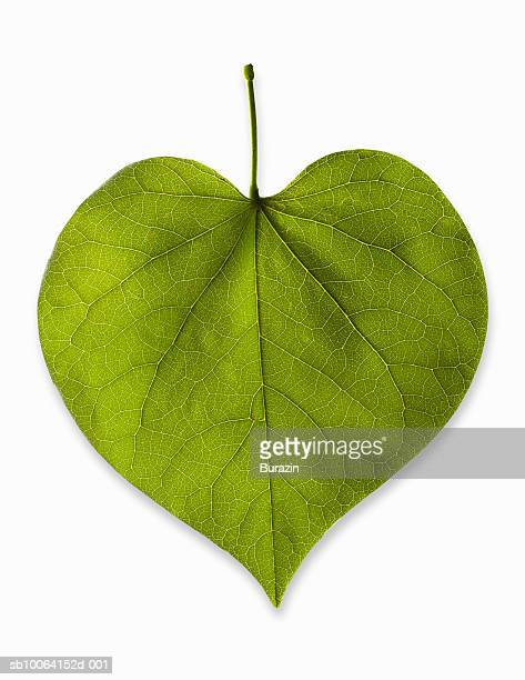 Heart-shaped leaf on white background, studio shot