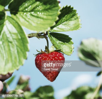 Heart-shaped strawberry on bush, close-up : Photo