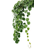 Heart-shaped thick green leaf wild vines, hanging climber vine bush isolated on white background, clipping path included.