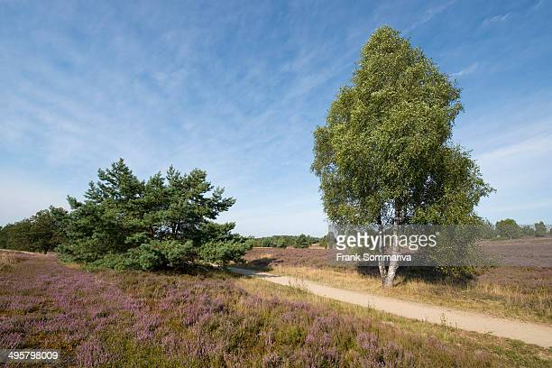 Heath landscape with flowering Heather -Calluna vulgaris-, Wilsede, Luneburg Heath Nature Park, Lower Saxony, Germany