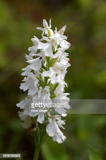 white spotted orchid flower - photo #8