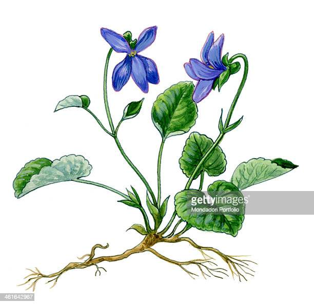 Heath Violet by Giglioli E 20th Century ink and watercolour on paper Whole artwork view Drawing of the plant and the flower of Heath Violet