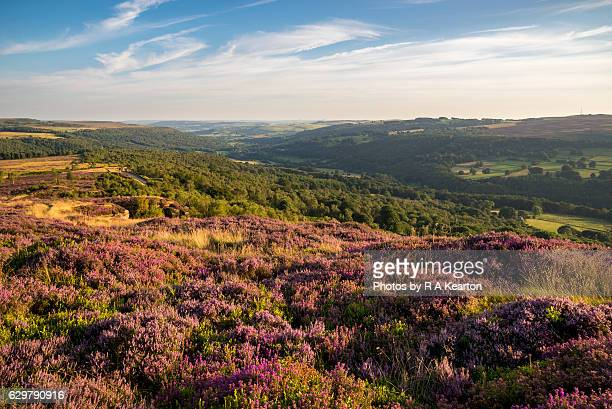 Heather blooming on hills of the Peak District, England