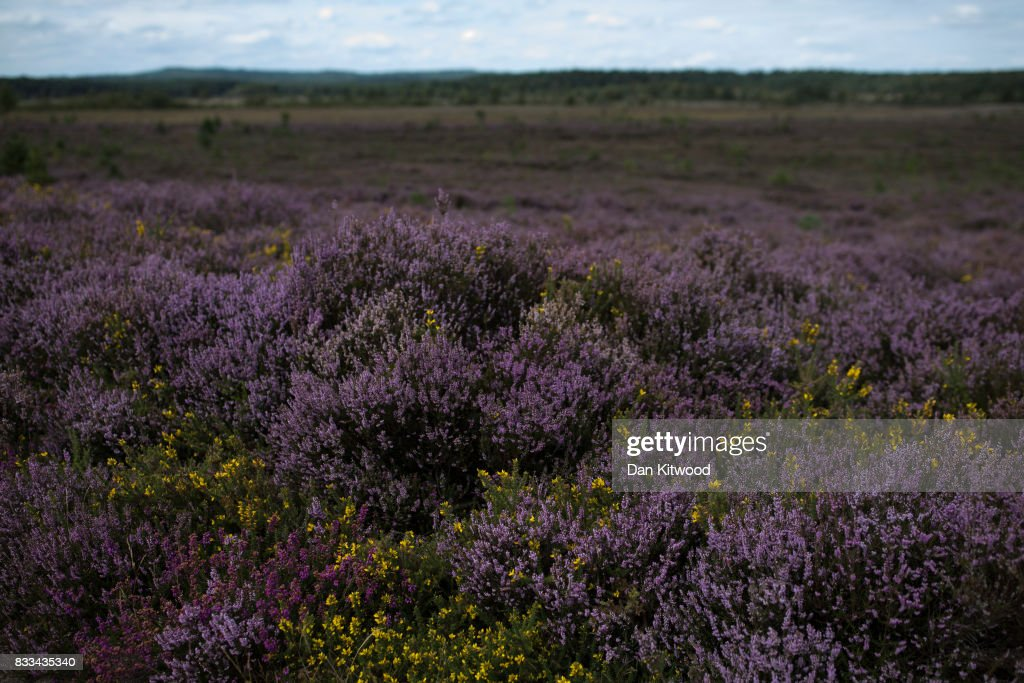 Heather blooms on Thursley National Nature Reserve on August 16, 2017 in Thursley, England. The 325 hectre site, managed by Natural England, is a site of special scientific interest consistsing of open dry heathland, peat bogs, ponds, pine, deciduous woodland and an abundance of wildlife.