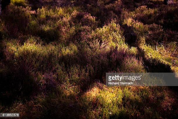 Heather - Dappled, Golden, Woodland Light