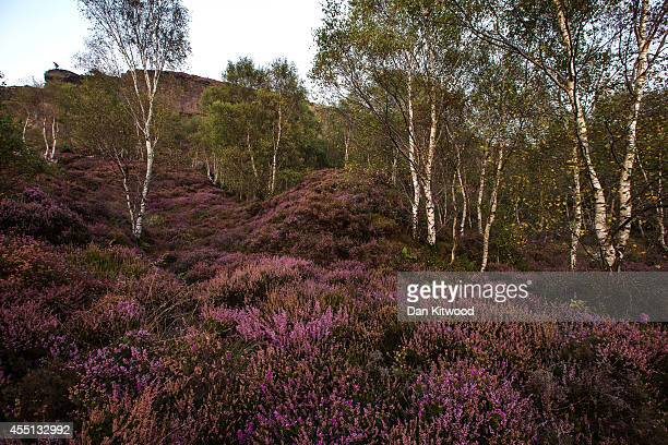 Heather glows after sunset in Millstone Quarry in the Peak District on September 09 2014 in Hathersage United Kingdom Much of the UK continues to...