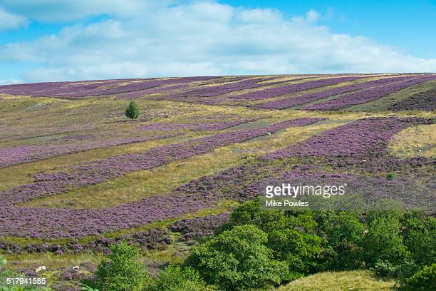 Heather moorland management and regeneration