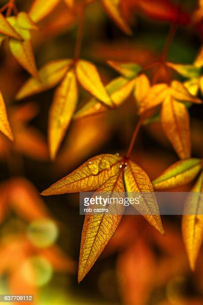 Heavenly Bamboo Autumn Leaves