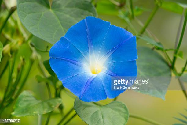 Heavenly Blue Morning Glory -Ipomoea tricolor-, flowering, Thuringia, Germany