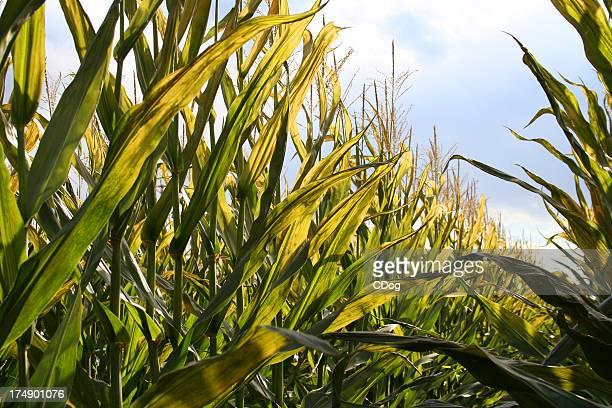 Heavenly harvest