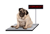 heavy fat pug puppy dog sitting down on vet scale with overweight LED sign, isolated on white background