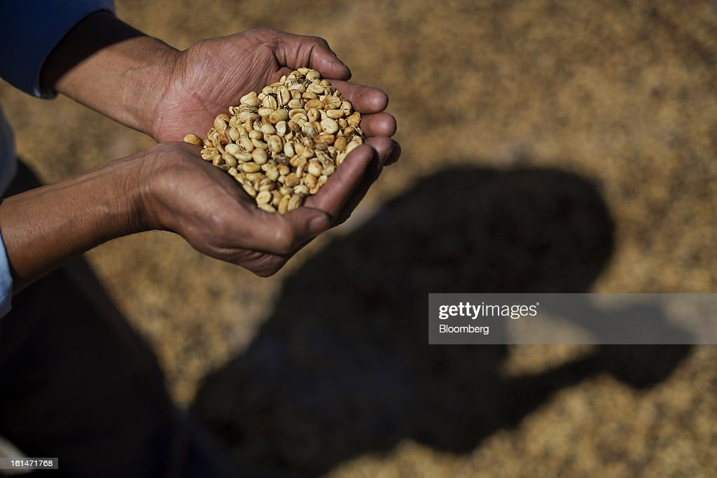Hector Perez, a small batch coffee producer, holds a handful of drying coffee near Antigua, Guatemala, on Saturday, Feb. 9, 2013. The Guatemalan National Coffee Association said that rust disease, known as roya in Spanish, will destroy 15 percent of the 2012-2013 harvest and as much as 40 percent of next season's harvest. Photographer: Victor J. Blue/Bloomberg via Getty Images