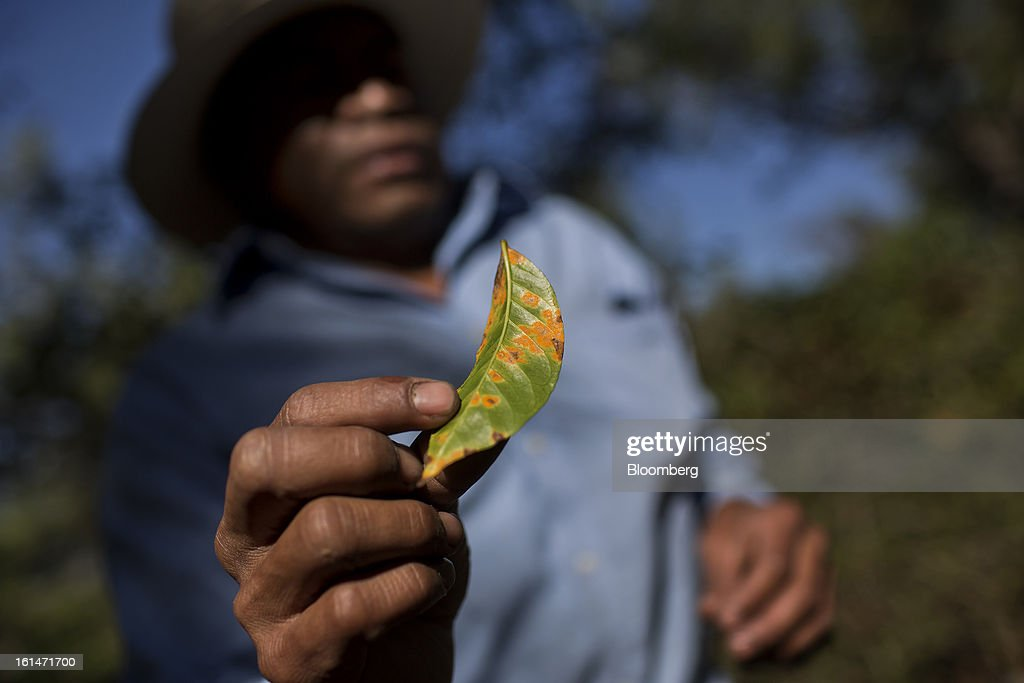 Hector Perez, a small batch coffee producer, points out damaged coffee beans near Antigua, Guatemala, on Saturday, Feb. 9, 2013. The Guatemalan National Coffee Association said that rust disease, known as roya in Spanish, will destroy 15 percent of the 2012-2013 harvest and as much as 40 percent of next season's harvest. Photographer: Victor J. Blue/Bloomberg via Getty Images