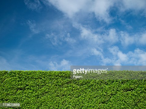 Hedge and blue sky background