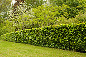 Hedge, hedgerow in garden.