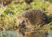 Native, Wild, European Hedgehog at a pool of water to drink