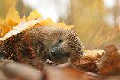 hedgehog autumn leaves foresthedgehog autumn leaves forest