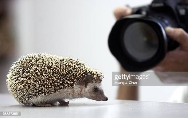 A hedgehog from the Los Angeles Zoo mugs for cameras during an educational visit to Cal State Northridge's Child and Family Studies Center's...