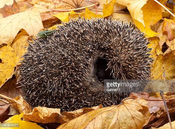 Hedgehog in leaf debris